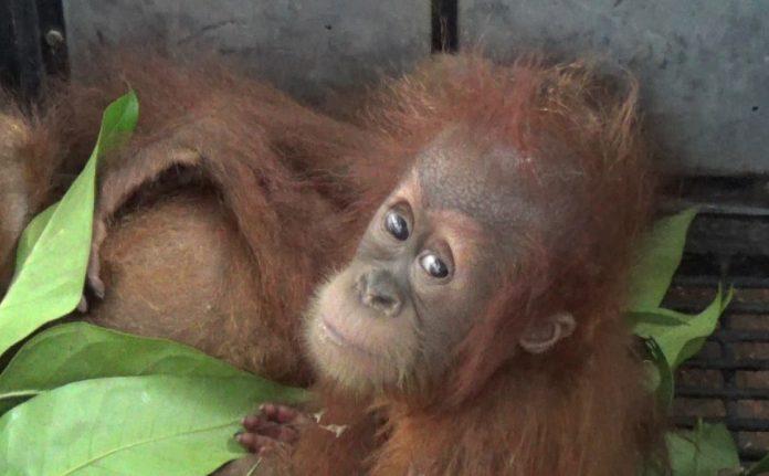 Sepasang Anak Orangutan Diamankan Saat Hendak Dijual